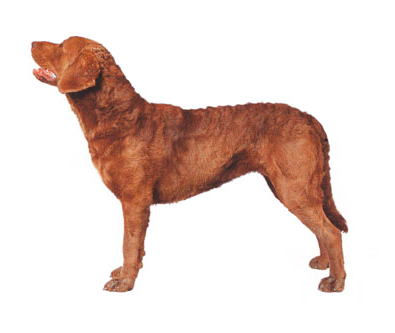 chesapeake bay retriiver
