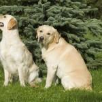 Labrador saab hästi läbi teiste koertega