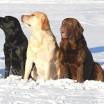Labradore on kolme värvi - must, kollane, pruun
