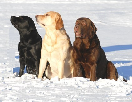 Labrador Retriever | Estonian Retrievers Society
