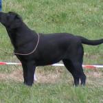 Must labrador