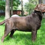 Pruun labrador