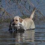 Labrador on edukas linnujahil
