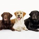 Labradorid