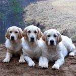 Meiepere kenneli koerad
