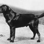 Labradori retriiver Bramshaw Bob