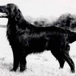 Cruftsi BIS 1980. siledakarvaline retriiver Shargleam Blackcap