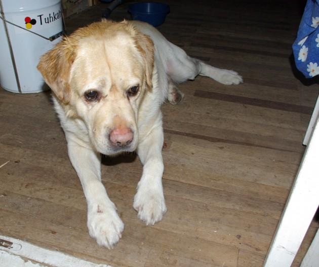 Leitud kollane isane labradori retriiver Saku vallast Rooba külast