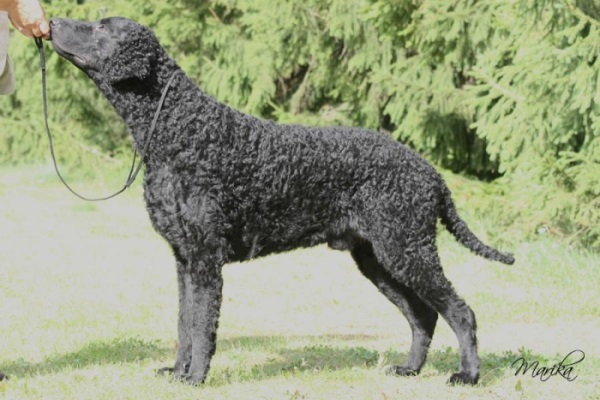 Curly Coated Retriever Gypsy's Soul Lludd