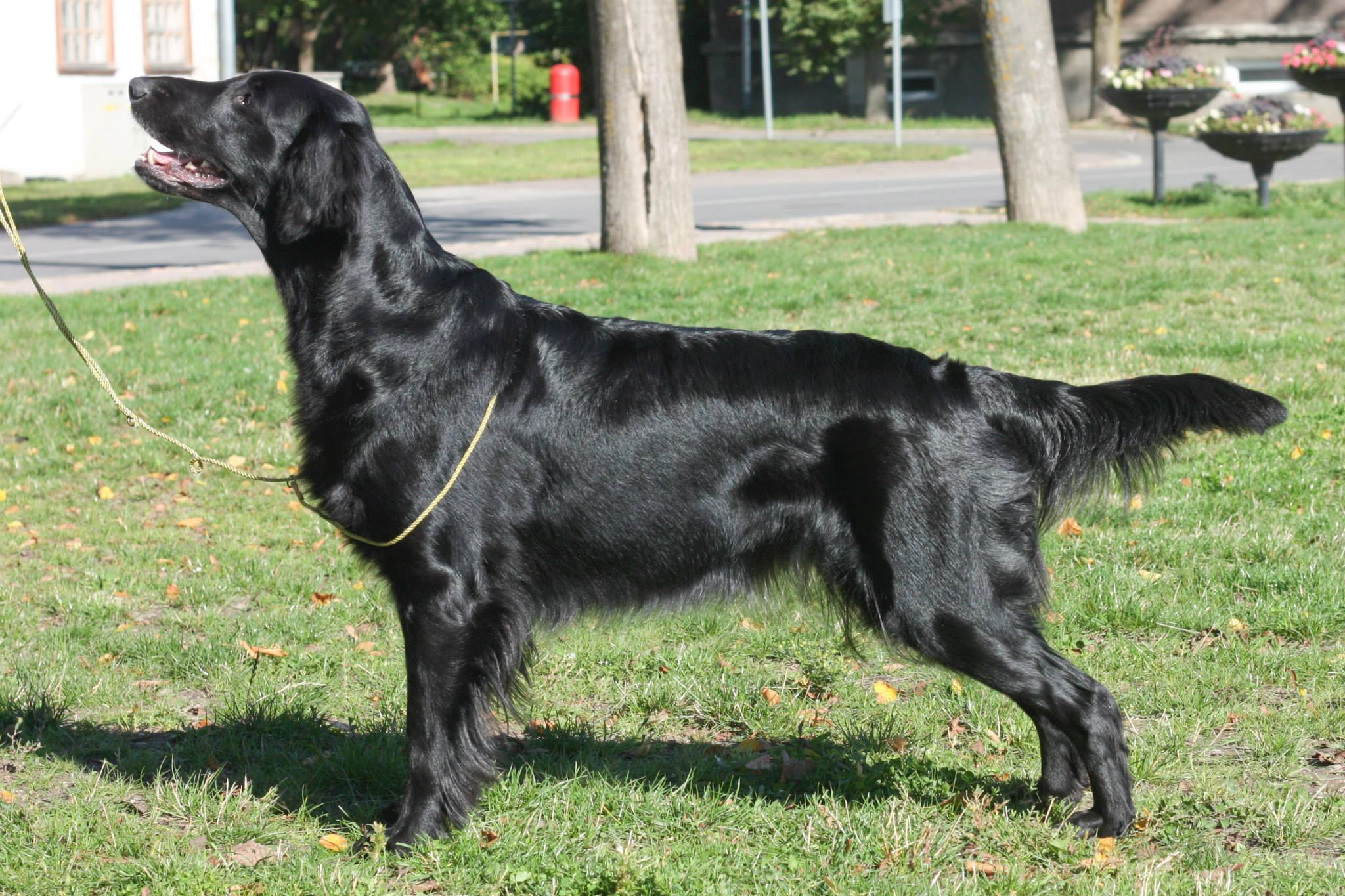 Flat Coated Retriever Malet Park Paprika