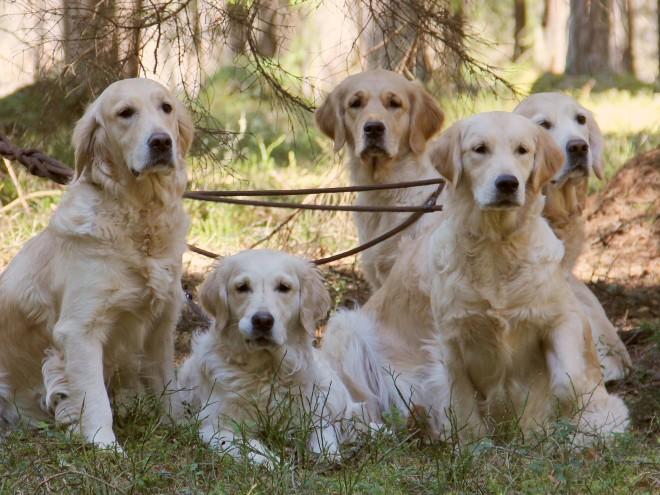Golden Retriever Estonian Retrievers Society - Golden retriever obedience competition fail